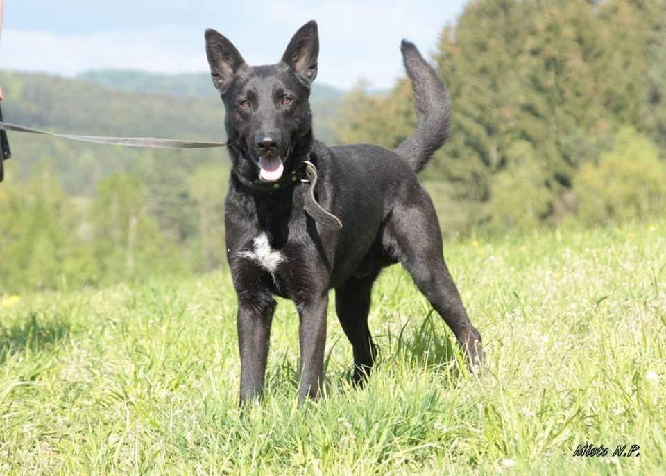 ... našel v Košťálově ( u Jilemnice) tento mladý cca 1 rok starý pes. Bez  čipu 4c691eb8436