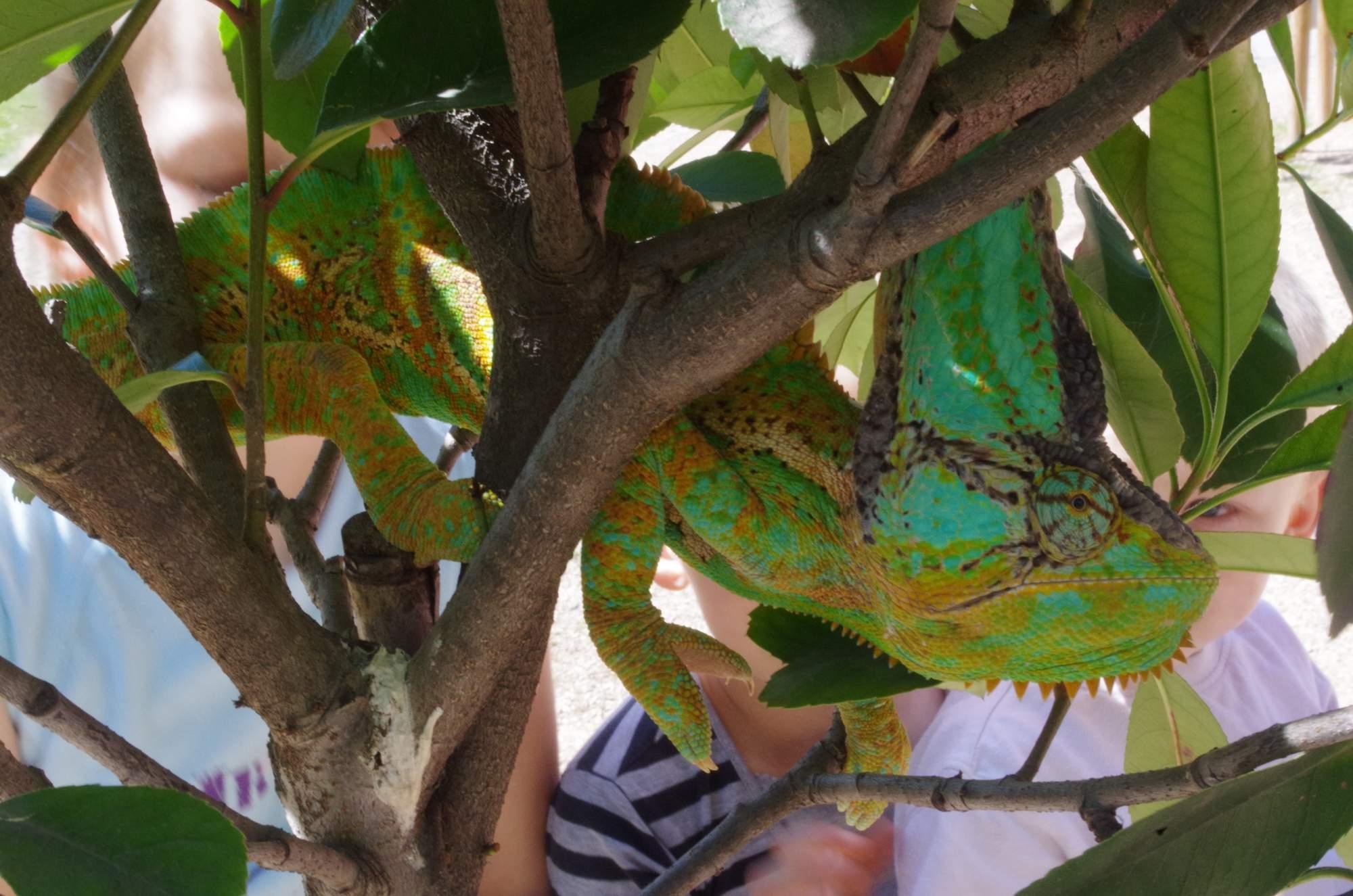Chameleon jemenský měl také velký úspěch. Foto: Eliška Pospíšilová