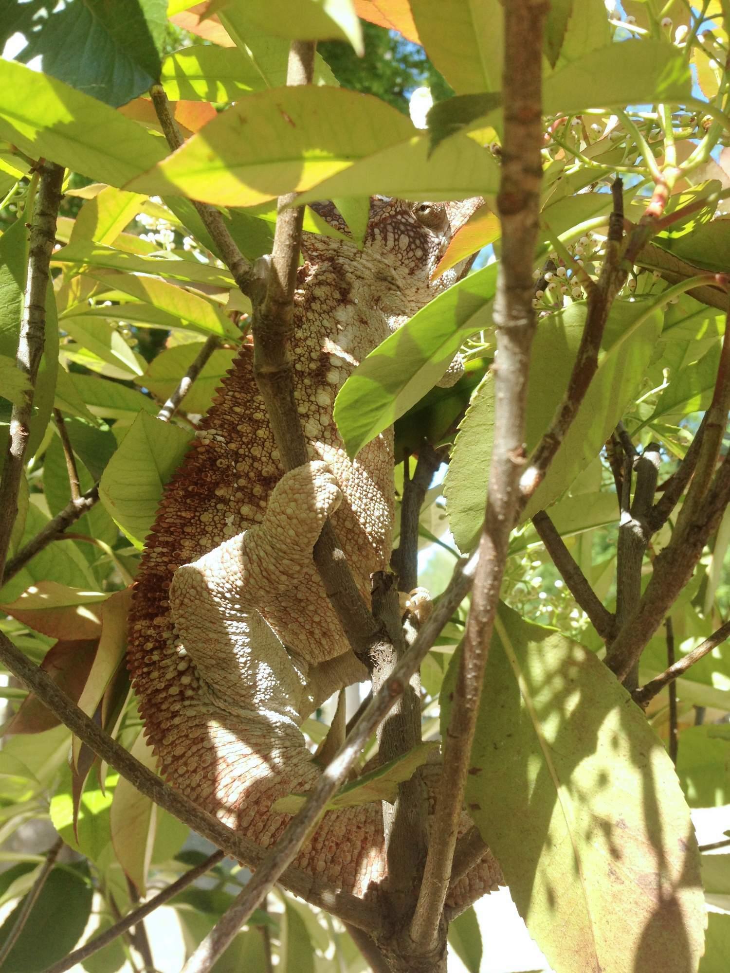 Chameleon obrovský se před návštěvníky schovával mezi listy stromu. Foto: Eliška Pospíšilová