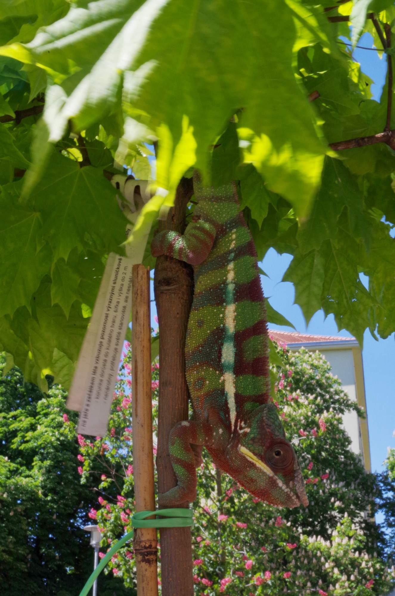 Chameleon pardálí se vystavoval na obdiv. Foto: Eliška Pospíšilová