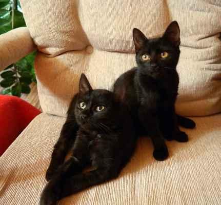 černá africká šťavnatá kočička